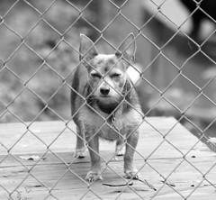 Warning:  Bad Dog...go ahead, make his day... (Squash Goddess) Tags: dog chihuahua yorkie warning baddog xolo chorkie