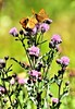 Butterflies in Thistle (bolilje) Tags: allxpressus