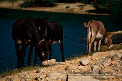 Donkeys on the river (AlessandroAiello) Tags: lake water animal river lago rocks riva donkeys donkey pietre acqua animale mulo muli
