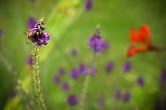 IMG_0003 - Bee (benjhayward) Tags: flowers blue red summer sun flower macro nature grass bug lens fly flickr wildlife bees bee flies pancake colourful 40mm edit pollon vingette lightroom