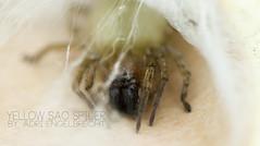 YELLOW SAC SPIDER (Adri Engelbrecht) Tags: toxic danger dead spider tissue vacuum sac bite poison broom webs humans venomous yelloe necrotic