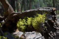 Mossy Floss (D-Gernz) Tags: green art nature moss nice nikon branch native pop deadtree nikkor greenmoss beautifulnature greatoutdoors deepcolors natureatitsfinest nikkor1855mmlens mossybranch d5100 nikond5100 dgernz