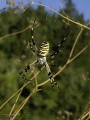 La tela del RAGNO...! (ROBRAS 2000 ) Tags: macro natura roberto fotografia animali insetti ragnatela ragni aracnidi robras2000 robertocinganelli