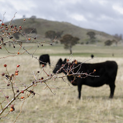winter berries with cow bokeh (Seakayem) Tags: 35mm cow berry bokeh sony canberra f18 slt a55 mtpainter