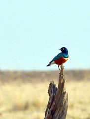 DSC_8018 (H Sinica) Tags: birds safari masaimara maasaimara superbstarling