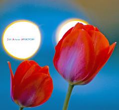 Tulipanes al contraluz (Jabi Artaraz) Tags: nature contraluz plantas natura zb tulipanes ornamento euskoflickr superaplus aplusphoto jartaraz