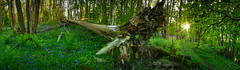 8307 (gcu_sketcher) Tags: trees sunshine bluebells woodland evening spring woods greenery wildflowers ferns greyfields