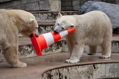 2013-09-13-11h42m23.272P1278 (A.J. Haverkamp) Tags: germany zoo polarbear wuppertal ijsbeer vilma dierentuin canonef100400mmf4556lisusmlens anori httpwwwzoowuppertalde