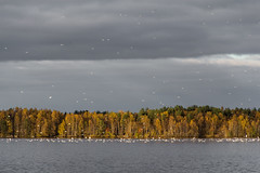 Autumn migration (Saad Chdhry) Tags: autumn sky lake tree bird nature yellow clouds canon suomi finland landscape day cloudy seagull gull calm oulu 18135 vision:beach=064