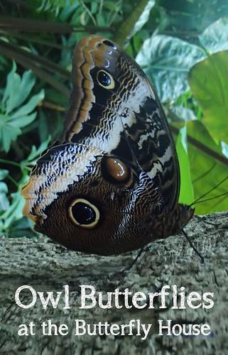 owl butterflies at St. Louis Butterfly House