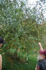 """Golden Russet Apple Tree <a style=""""margin-left:10px; font-size:0.8em;"""" href=""""http://www.flickr.com/photos/91915217@N00/10302944345/"""" target=""""_blank"""">@flickr</a>"""