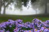 Purple aster (glukorizon) Tags: park white mist plant flower tree green floral grass groen purple nederland delft boom gras wit centrum aster paars bloem odc zuidholland nieuweplantage odc2 ourdailychallenge