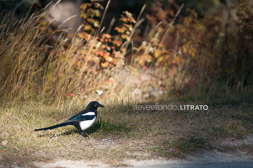 Black Bird Magpie
