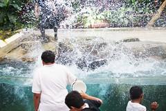 BM7Q8277 (Idiot frog) Tags: water animal canon eos singapore sealion  singaporezoo sealionshow   1dx