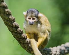 Squirrel monkey on the rope (Tambako the Jaguar) Tags: cute zoo monkey switzerland nikon rope ape zrich lying primate squirrelmonkey d4