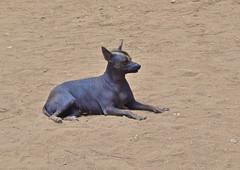 Peruvian Hairless Dog (dpotton1) Tags: dog peru nikon hairless peruvian d3100