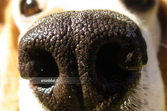 Snout. (¡arturii!) Tags: dog pet house black macro texture home beagle animal closeup garden hair nose eyes backyard focus friend funny hole bokeh fisheye smell curious morro trufa nas sonycybershot snout gettyimages jardi hocico pels mussell bigui olorar wowamazingawesomesuperbinterestingstunningimpressivenicebeautygreatarturiiarturdebattkgetty