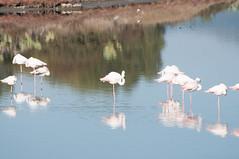 DSC_7579.jpg (Ferraris Clemente) Tags: sardegna wild birds sardinia uccelli pinkflamingo olbia stagno fenicotterirosa
