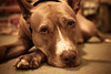 Sweet Eyes (T-3 Photography) Tags: dog pet animal canon 50mm eyes canine pit pitbull doggy niftyfifty pibble 5dmarkii