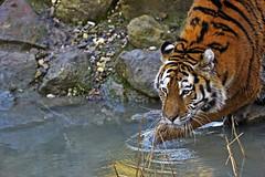 Sibirischer Tiger (Michael Dring) Tags: zoo bismarck gelsenkirchen d800 amurtiger tc14eii sibirischertiger zoomerlebniswelt michaeldring flickrbigcats afs300mm40d