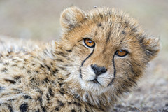 Cute cheetah cub lying and looking at me