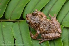 Philautus vermiculatus IMG_5064 copy (Kurt (orionmystery.blogspot.com)) Tags: amphibian frog frogs herp herps herpetology amphibia rhacophoridae rhacophorid vermiculatebushfrog philautusvermiculatus