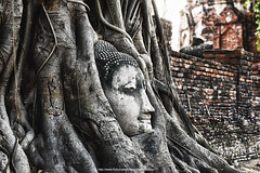 Buddha Head in Tree Roots ,Wat Mahathat ,Ayutthaya Province : Thailand
