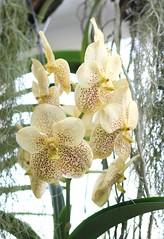 Vanda Golden Magic (blumenbiene) Tags: flowers plant orchid flower garden botanical golden orchids magic pflanze leipzig vanda orchidee blüte garten blüten boga orchideen botanischer orchideenblüten orchideenblüte