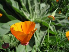 California poppy_4668302822_l