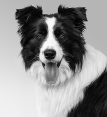 The Best And Faithful Friend (MANUELup) Tags: bw dog animal amigo friend collie border bn perro cava select fiel faithful