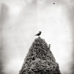 the view from up here (winnie's human (all work and no play)) Tags: tree monochrome birds sqaure birdsintree artlibre monochromenature wetplateeffect naturedsquared