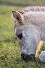 Konik (SEngel1978) Tags: canon natur pony pferde wildpony konik sachsenanhalt naturfotografie aufdemrdel naturschutzgebiettotetler