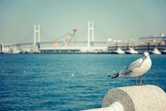 DSC04851 (horuhoru) Tags: park bird seagull baybridge yokohama   yamashita      rx100