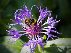 Front Garden Flower (davepickettphotographer) Tags: flower garden spring montana time bee honey honeybee cambridgeshire huntingdon em1 centaurea buckden olympuscamera huntingdonshire makinghoney