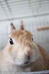 IMG_9886-1 (Rabbit's Album) Tags: pet cute rabbit bunny animals coco   netherlanddwarf    canonx7i x7i efs24mmf28stm
