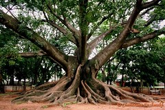 Tree (Click Therapy) Tags: park tree nature leaves garden branches roots bigtree greentree naturelove hugetree barkoftree