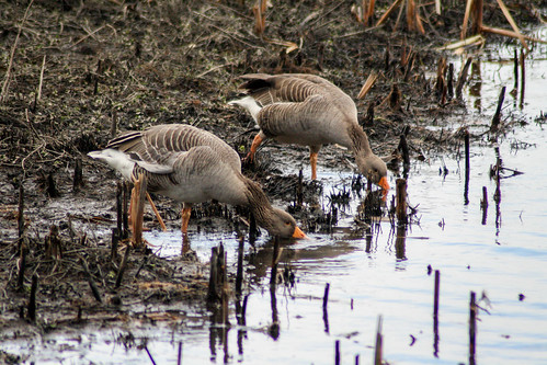 Greylag Goose - Low Barns Nature Reserve