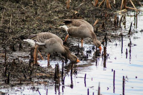 Greylag Goose - Low Barns Nature Reserve
