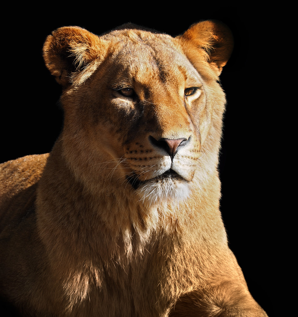 8k Animal Wallpaper Download: The World's Best Photos Of Danger And Lion
