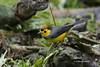 Collared Redstart (Myioborus torquatus) (Gmo_CR) Tags: myioborustorquatus collaredredstart candelitacollareja amigodehombre costarica coronado monserrat