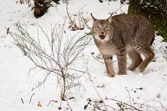 Lynx (Cloudtail the Snow Leopard) Tags: luchs winter schnee snow lynx katze cat feline animal tier säugetier mammal beutegreifer predator pinselohr wildpark pforzheim