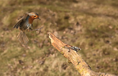 Special Branch (Nickerzzzzz - Thanks for stopping by :)) Tags: ©nickudy nickerzzzzz theartofphotography canon5d3 ef50mmf18stm photograph wildlife nature bird robin erithacusrubecula turdidae outdoor bif uk feathers flight