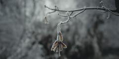 frozen nature 7696 (s.alt) Tags: nature natureunveiled frost winter ice rauhreif cold kalt morgen eiskristall kristallförmig vereist niederschlag hoarfrost whitefrost rime frostyrime frozen detail icecrystal frozennature macro blatt frosted