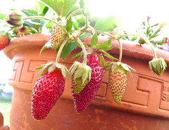 Strawberries Jl 30 2013 P1100509 (Shutterbuglette) Tags: yummy food patio patiogarden homegrown strawberries fruit seeds terracotta clay earthenware planter sunshine summer july eatfruitdaily shutterbuglette