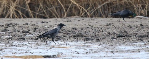 Carrion/Hooded Crow Hybrid