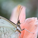 White Morpho (Dominic Marcoux) Tags: green