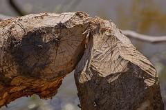 Beaver Damage Near (brev99) Tags: d610 tamron70300vc topazdetail topazdenoise nature oxleynaturecenter beaverdamage photoshopelements12