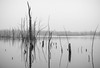 353: Not operating on Euclidean trajectories (JKLsemi) Tags: sandyridgereservation wetland trees sticks water reflection bw project365353 year7 project365