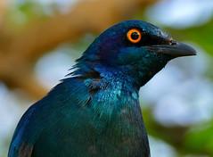 Greater Blue-eared Starling (Lamprotornis chalybaeus) (berniedup) Tags: lowersabie kruger greaterblueearedstarling lamprotornischalybaeus starling taxonomy:binomial=lamprotornischalybaeus