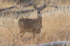 Beautiful White-tailed Deer doe